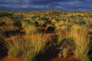 Vegetated sand dune with Spinifex (Triodia sp.)