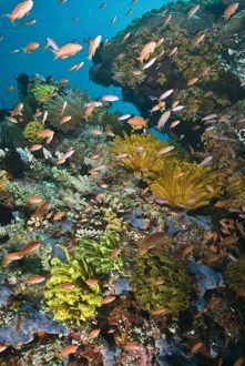 Vibrant reef scene with Fairy basslets (Pseudanthias cf cheirospilos)