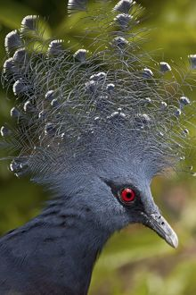 Victoria crowned-pigeon (Goura victoria)