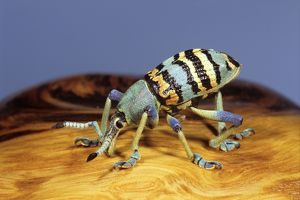 Weevil, (Eupholus nickerli)