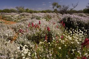 Wildflowers in semi-desert including pink Smokebush (Conospermum teretifolium)