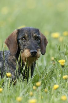Wire-haired dachshund (Canis familiaris)