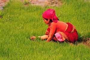 Woman at work in paddy field,
