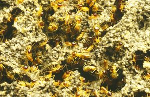 Worker termites (Eutermes sp)