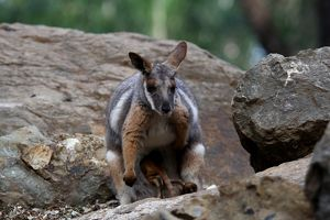 Yellow-footed rock-wallaby (Petrogale xanthopus)