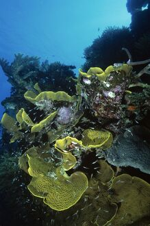 Yellow plate corals with reef fish,