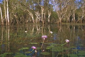 Yellow Water billabong with Paperbark trees and Blue waterlilies (Nymphaea violacea)