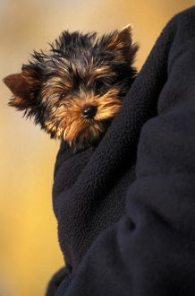Yorkshire terrier (Canis familiaris)
