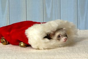 Young ferret peeking out of Santa hat (Mustela putorius furo)