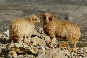 Zakel sheep (Ovis aries)