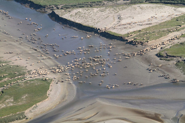 Aerial view of a large flock of sheep crossing salt meadows of the Bay of the Somme. Meat from animals raised on the salt marsh and its salt-loving plants with iodine and saline content, is regarded as a delicacy. Picardy, France
