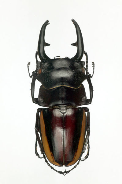 BIO07499. Stag beetle (Odontolabis duivenbodei) male, 40 to 80 mm, Sulawesi, Indonesia