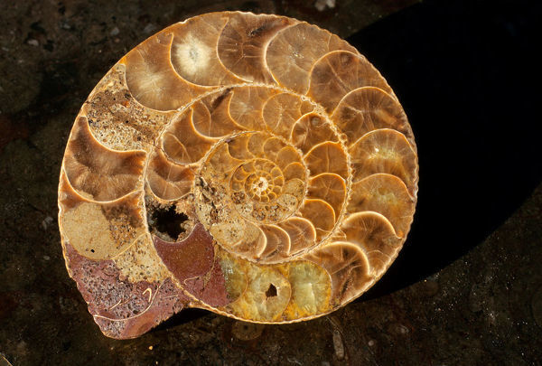 BIO21234. Cross-section of a Devonian ammonite