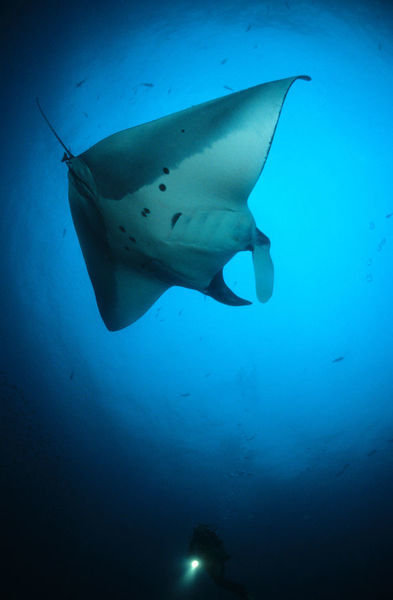 BIO21290. Giant manta. Manta birostris. and a diver, mid-water