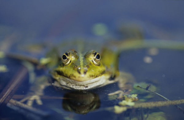 BIO24538. Edible frog. Pelophylax esculentus. in water. France