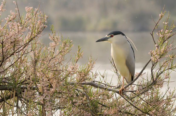 Black-crowned night-heron (Nycticorax nycticorax)