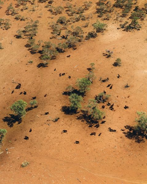 Cattle in desert, from the air. Near Alice Springs, Northern Territory, Australia