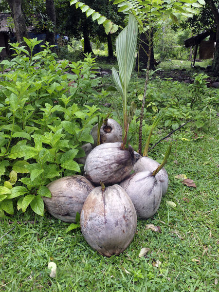Coconut palms (Cocos nucifera) sprouting from fallen or washed up nuts. Lombok, Sunda Islands, Indonesia
