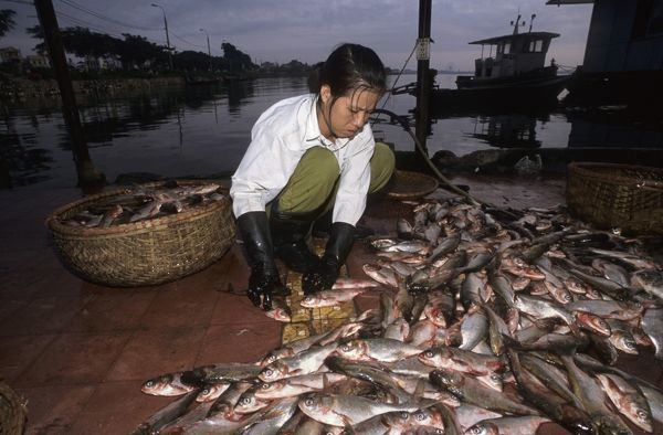 Commercial fish catch from Ho Tay or West Lake