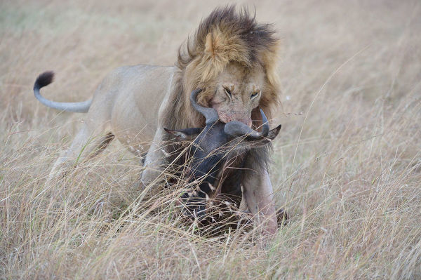 East African lion (Panthera leo nubica) dragging a Wildebeest just killed. Masai Mara National Reserve, Kenya