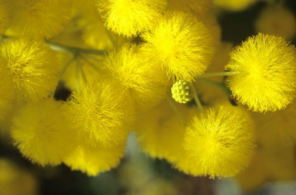 Elephant ear wattle (Acacia dunnii), close up of golden ball flowers. Darwin, Northern Territory, Australia