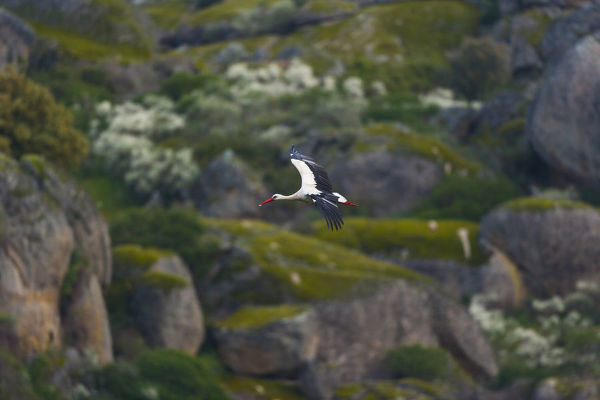 European white stork (Ciconia ciconia) in flight over granite boulders. Natural Monument of Los Barruecos, Province of Caceres, Extremadura, Spain
