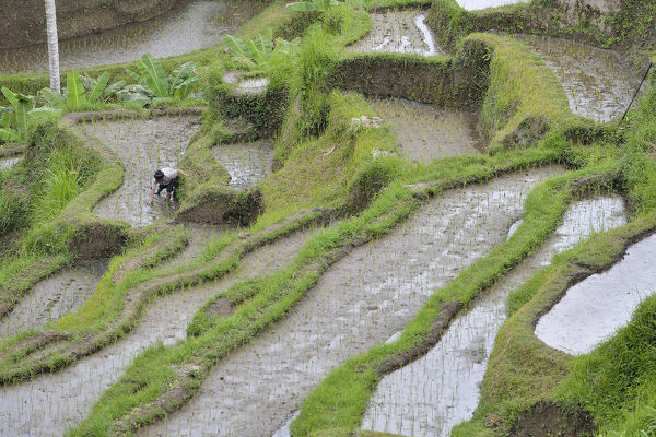 Farmer working in rice terraces, planting out seedlings. The fields are worked in the traditional cooperative system of irrigation. Bali, Indonesia