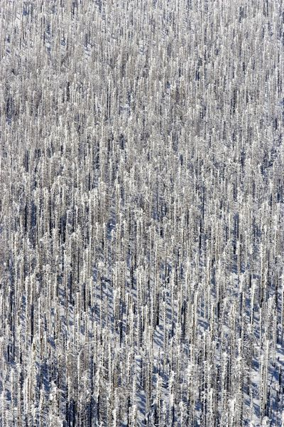 Forest of Norwegian spruce (Picea abies), in winter, with snow. Nationalpark Bayerischer Wald, Bavaria, Germany