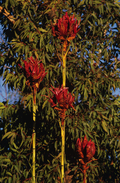 Gymea lilies (Doryanthes excelsa), Sydney, New South Wales, Australia