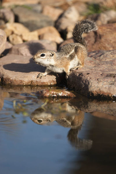 Harris' antelope squirrel (Ammospermophilus harrisii) at a waterhole. Madera Canyon, Southern Arizona, USA
