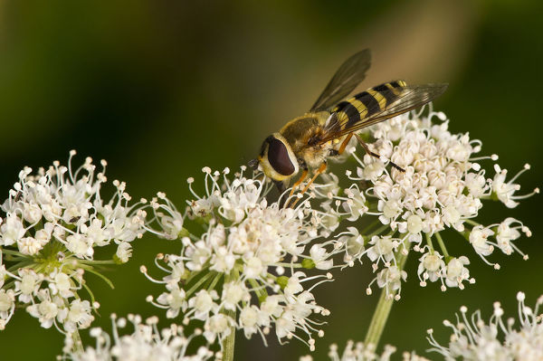 A hoverfly (Syrphus vitripennis), female on flowers. Kvaerkeby Mose, Denmark