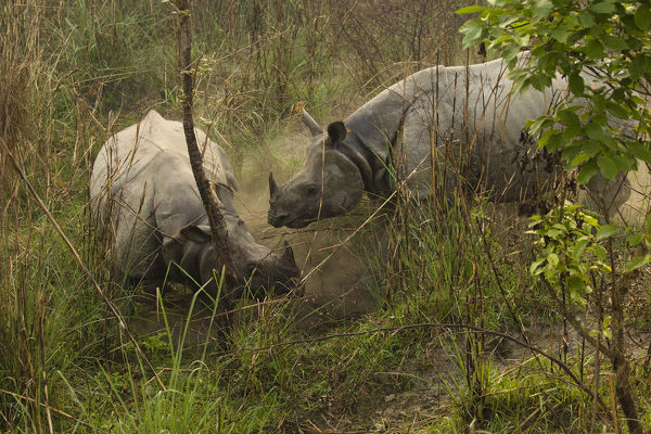 Indian rhinoceros (Rhinoceros unicornis) pair, courtship behaviour. Chitwan National Park, Nepal