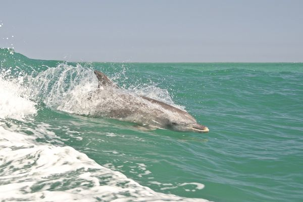 Indo-Pacific bottlenose dolphin (Tursiops aduncus) speeding through the water using a boat bow wave. Shoalwater Islands Marine Park, Rockingham Western Australia, Australia