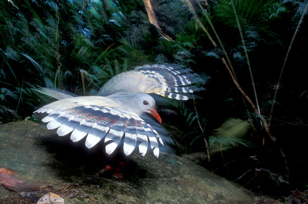 Kagu (Rhynochetos jubatus), close up, showing binocular vision that allows the bird to hunt for small prey on the dark forest floor. Riviere Bleue National Park, New Caledonia