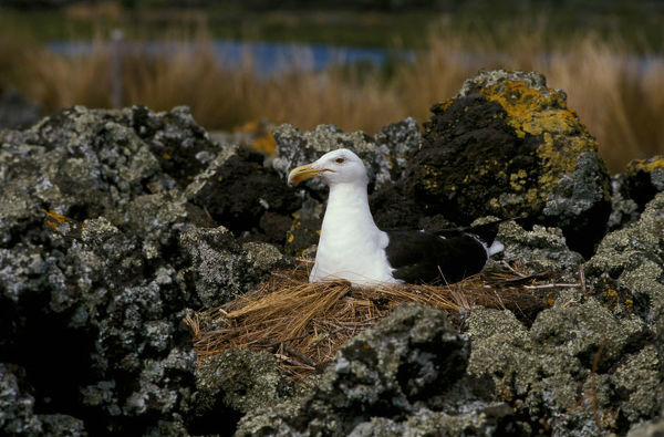 Kelp gull (Larus dominicanus), on nest, built mostly by the male. An omnivorous scavenger. New Zealand