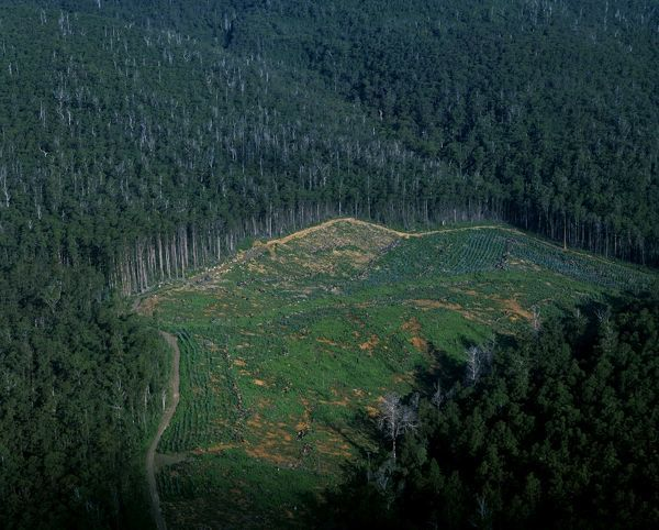 Logging industry: native eucalypt forest cleared for pine plantation