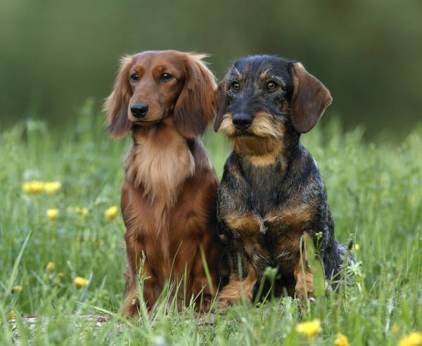 Long-haired and Wire-haired dachshunds (Canis familiaris)