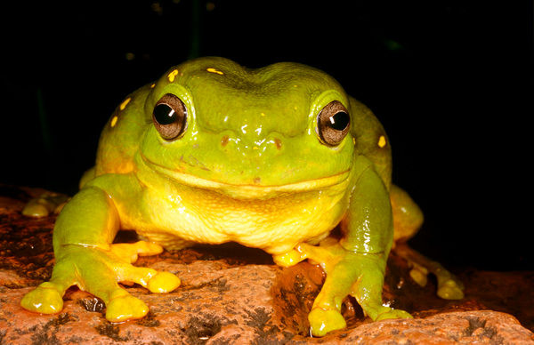 Magnificent tree frog (Litoria splendida), West of Kununurra, Western Australia