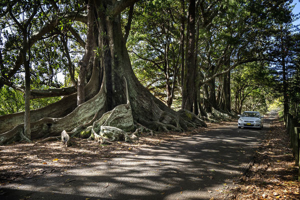 Five majestic Moreton Bay fig trees (Ficus macrophylla) on Headstone Road on Norfolk Island