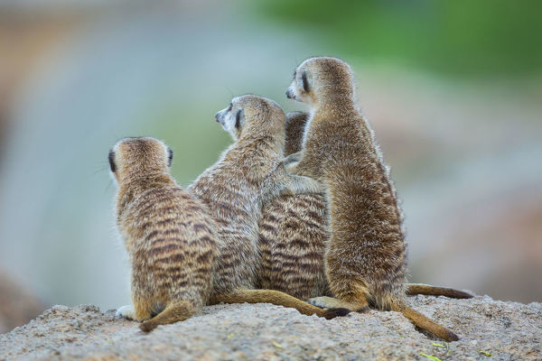 Meerkats (Suricata suricatta), group of four seated, intent on something unseen. Origin: southern Africa