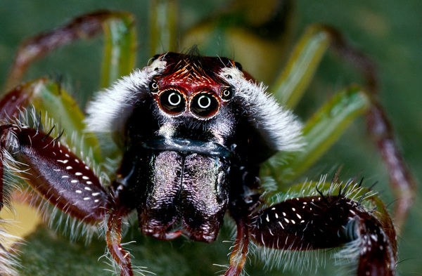 Northern jumping spider (Mopsus mormon), portrait of male showing white whiskers. Kakadu National Park, Northern Territory, Australia