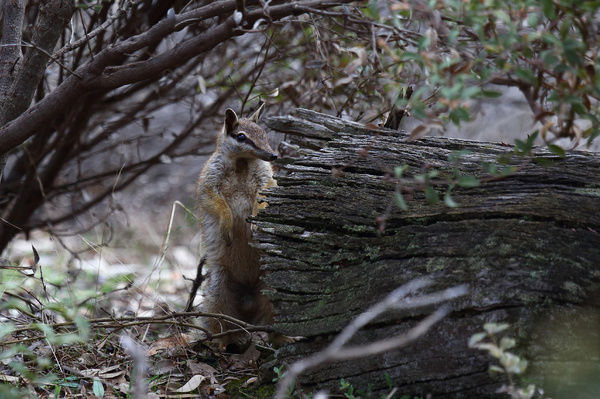 Numbat (Myrmecobius fasciatus), a large male standing by a log. Unlike other marsupials Numbats are most active during daylight. Dryandra Woodland, Wheatbelt region, Western Australia, Australia