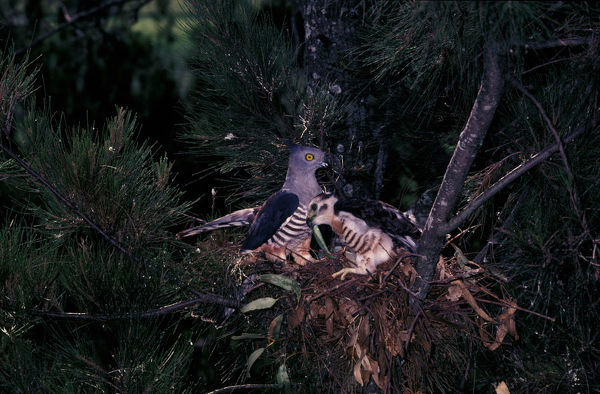 Pacific baza (Aviceda subcristata), at nest with large chick Southern Queensland, Australia