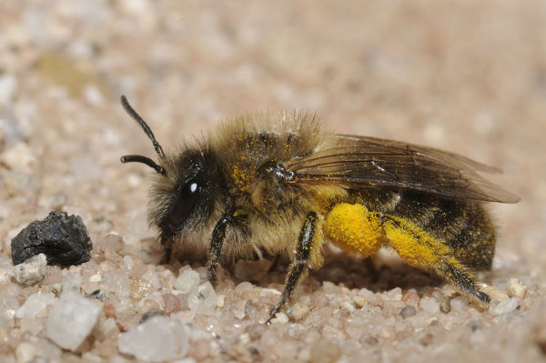 Plasterer bee (Colletes cunicularius). Species in this genus build underground nests and line the cells with a polyester secretion
