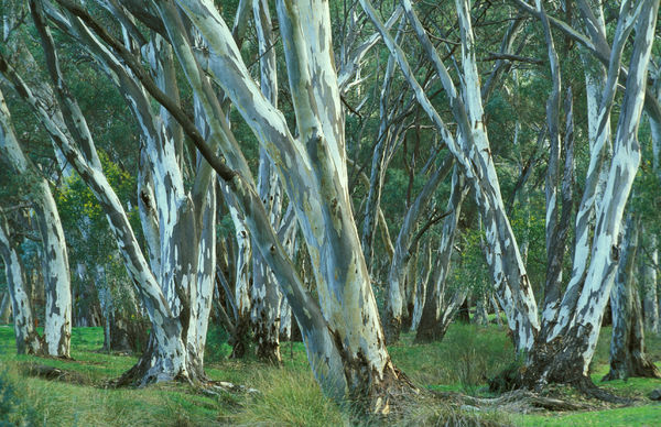 River red gums (Eucalyptus camaldulensis), Flinders Ranges National Park, South Australia