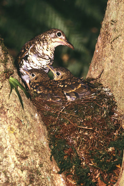 Russet-tailed thrush (Zoothera heinei), at nest with chicks. Lamington National Park, southern Queensland, Australia