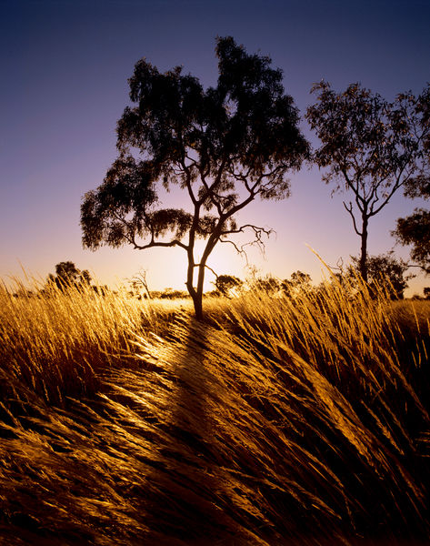 Spinifex (Porcupine grass) (Plectrachne sp.)