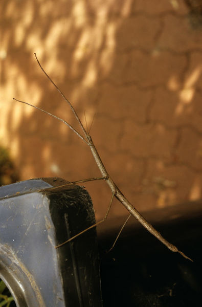 Stick insect, (Ctenomorpha chronus), resembling the twig of a eucalypt, can grow to 18 cm. Parthenogenetic, able to produce offspring without mating. The babies will all be female and genetically identical to each other and the mother