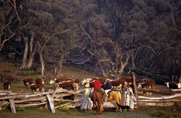 Stockmen with cattle during annual muster. Bogong High Plains, Victoria, Australia