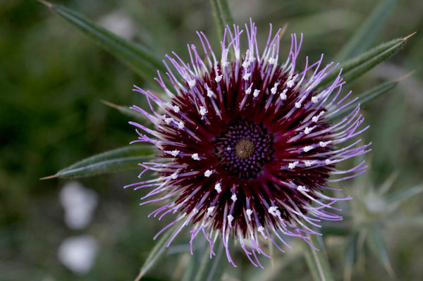 Thistle flower from above, close up
